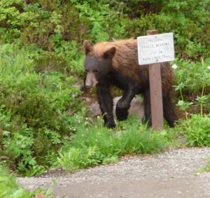 A black bear walks around a trail sign near a trail at Mount Rainier.