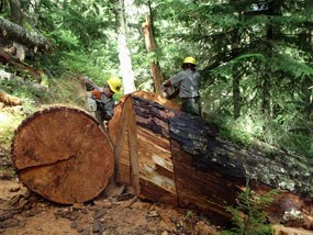 A large blowdown on the Wonderland Trail