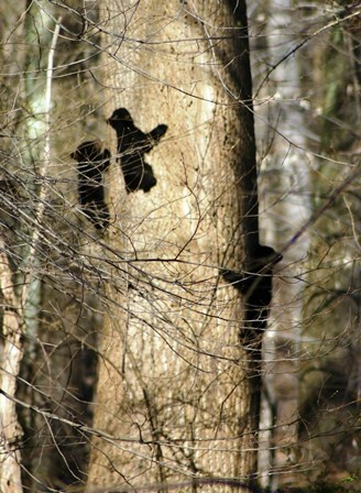 3 Black Bear cubs climb up tree