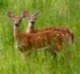 Two young fawns standing in tall grass.