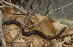 Northern Water Snake found among the leaf litter on the forest floor.