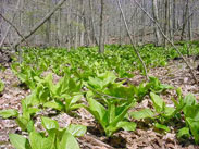 Skunk Cabbage is an wetland indicator species, it grows along many stream beds and low areas throughout the park.