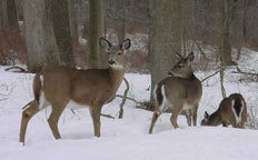 During the winter, deer may have some difficulty finding food due to snow cover.