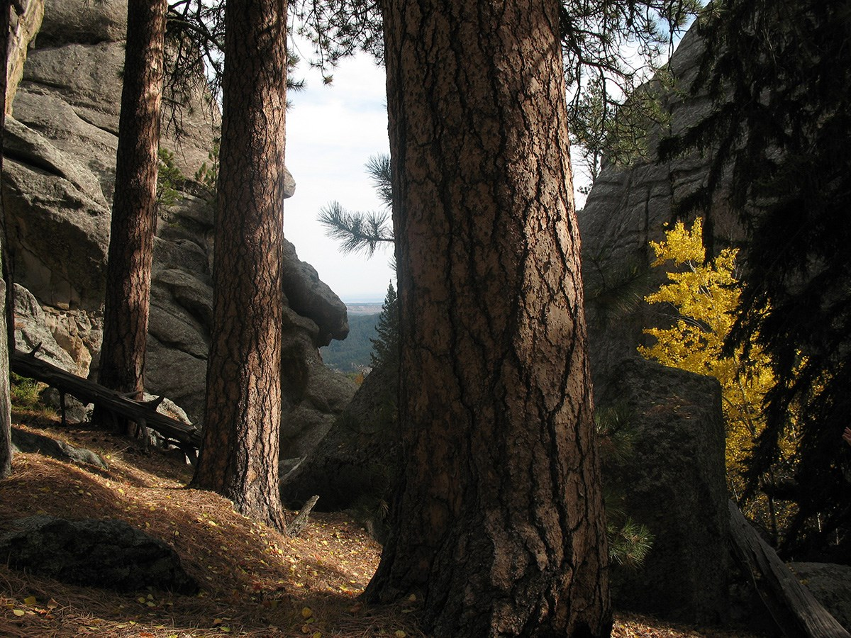 Ponderosa pine trees growing near the base of Mount Rushmore.