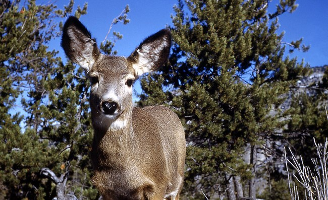 A mule deer with eyes, ears and nose pointing straight at you.