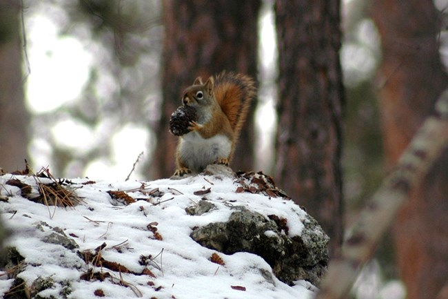 A red squirrel carries a pine cone in the snow.