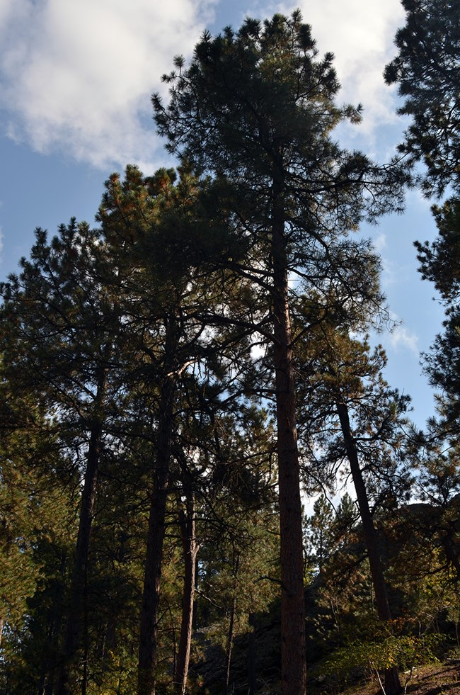 A view of a group of ponderosa pine trees looking up towards the sky with clouds floating past.