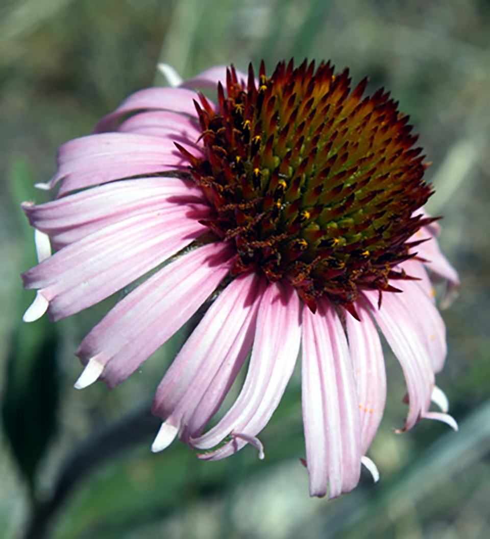 Wildflowers mount rushmore national memorial us national park wildflowers mount rushmore national memorial us national park service izmirmasajfo