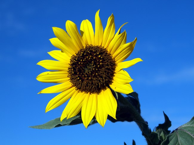 Close up photo of an annual sunflower with bright yellow petals and golden brown center.