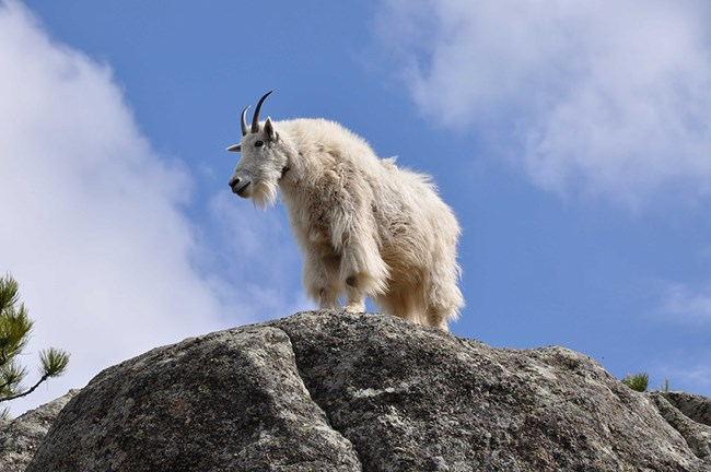 A Rocky Mountain goat stands on a large granite outcrop.
