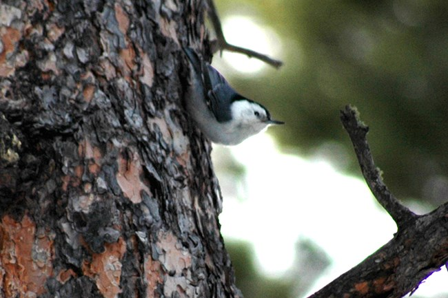 A white-breasted nuthatch climbing down the bark of a ponderosa pine tree.
