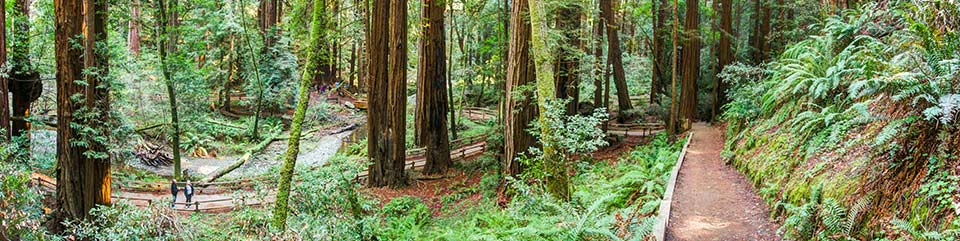 Visitors appear very small amongst the redwood trees.