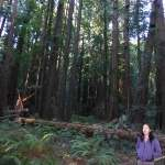 A woman walks by part of the tree that fell in Bohemian Grove on December 21, 2012.