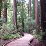 Photo of new boardwalk meanderig through Pinchot Grove
