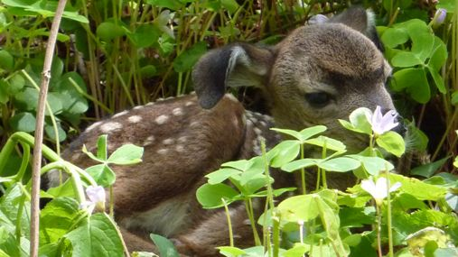 A photo of a fawn resting in a bed of redwood sorrel flowers. It has floppy ears and looks like a puppy.