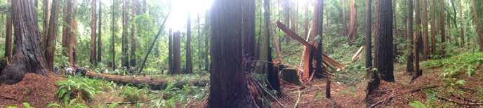 A large redwood tree lies on the forest floor after falling in Bohemian Grove during the park's Winter Solstice program. No one was injured.