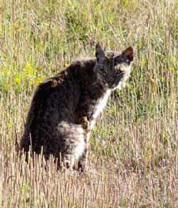 Bobcat sitting in an open marsh area near Muir Beach in the late afternoon sun.