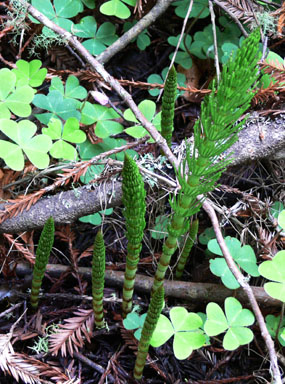 Horsetail Fern