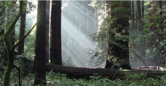 Sun slanting down through the redwoods