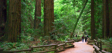 People on trail beneath giant redwood trees.