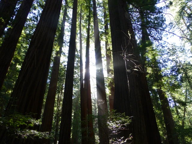 Sunlight is fractured into rays by stately redwood trees in Cathedral Grove, adding to the serene ambiance at the heart of Muir Woods.