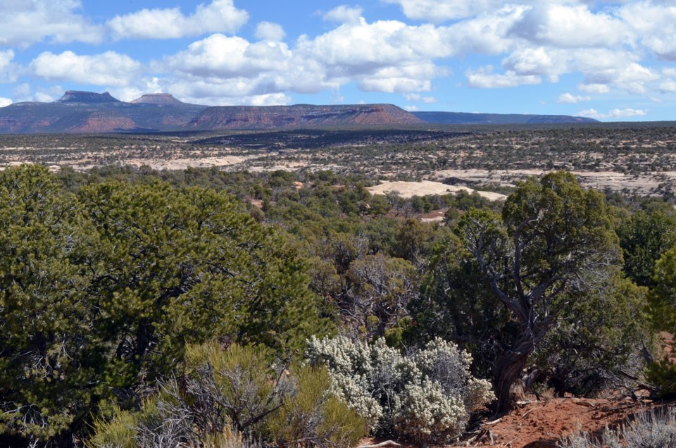 Pinyon and juniper trees across Cedar Mesa, with the Bear's Ears Buttes in the background