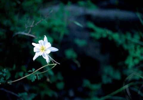 White alcove columbine bloom with blurred leaves in background