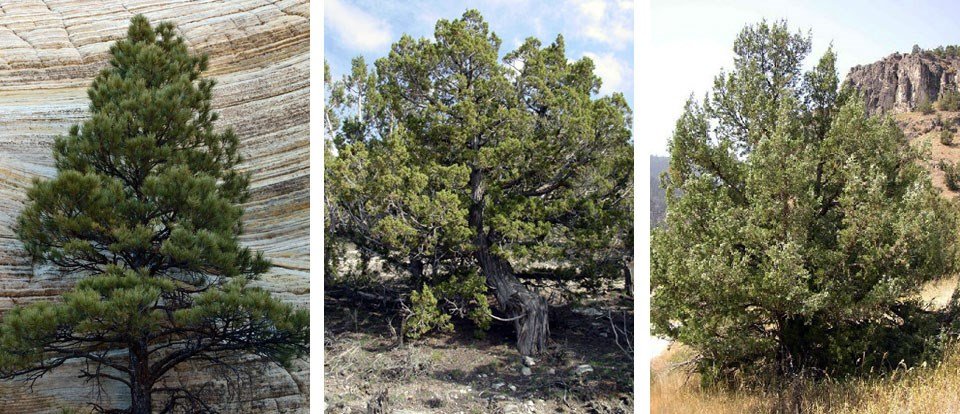 Three separate photos of a pinyon pine tree, a Utah juniper tree, and a Rocky Mountain Juniper tree, respectfully
