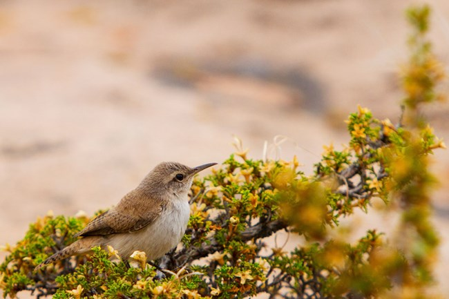 canyon wren sitting in Cliffrose bush