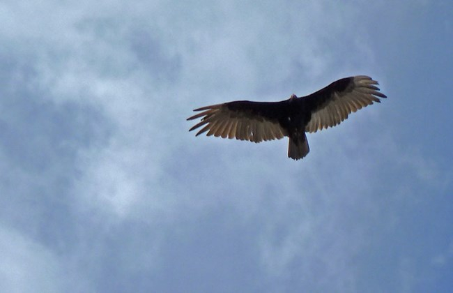 golden eagle flying overhead against a blue sky