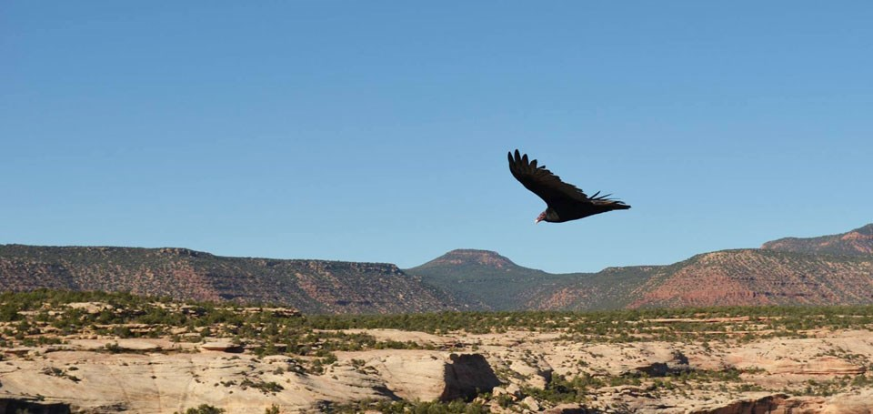 turkey vulture in flight over the mesa