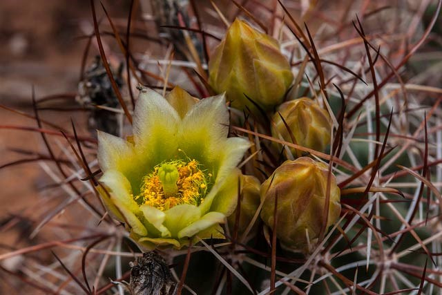 fishhook cactus with yellow bloom