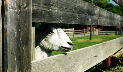 Goat watching visitors at Oxon Cove Park.