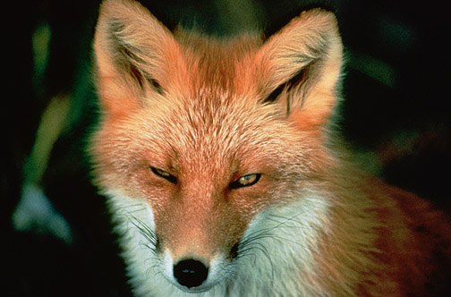 Red Fox (USFWS Photo)