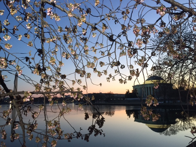cherry blossoms at sunrise