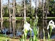 pond with cypress trees in background and blooming white iris in foreground