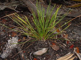 A young longleaf pine survives well after a prescribed burn.