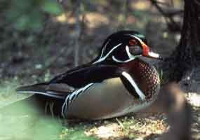 A wood duck