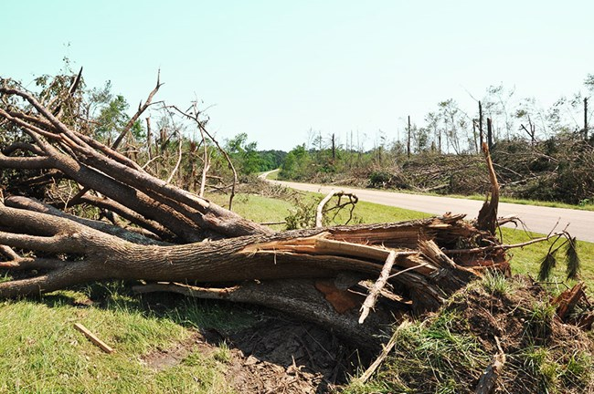 A large tree that was blown over by a tornado and several trees that have been stripped of branches and leaves.