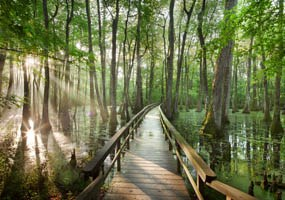 Cypress Swamp with Boardwalk, Milepost 122 285x200