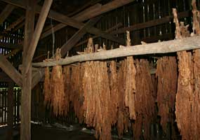 Tobacco drying in a barn.
