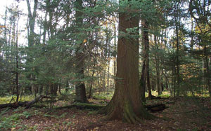 Shavers Mountain Spruce-Hemlock Stand