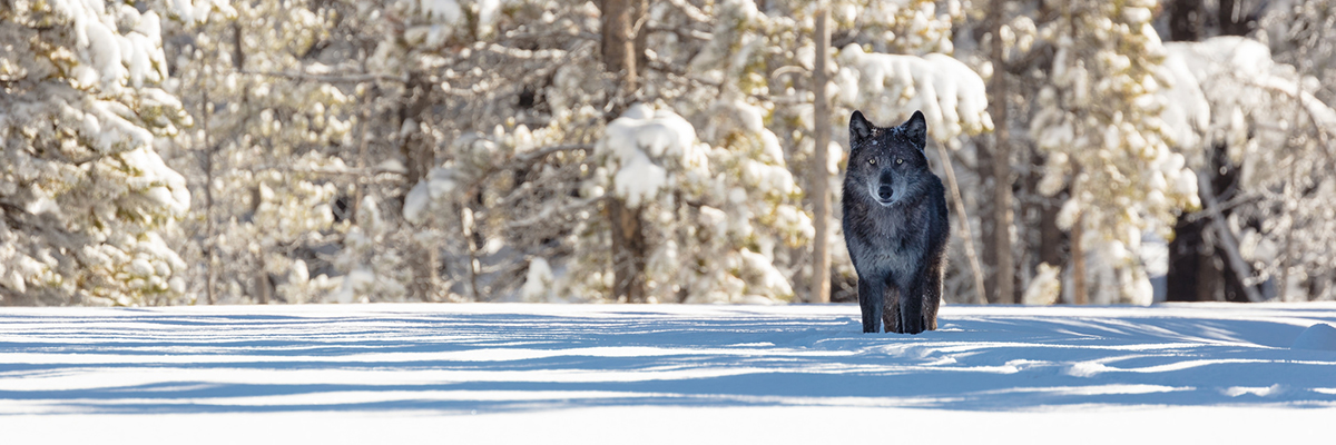 A black wolf stands in the snow