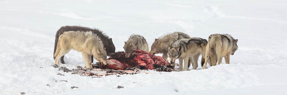 Six wolves gather around a large bloody animal carcass in the snow. Five are pulling meat from the carcass. A sixth faces away. Five wolves have light grey backs and lighter colored under bellies and legs. A sixth wolf is black overall. The snow in the foreground is packed by multiple tracks and has a few scraps from the carcass. The background shows trails in the snow that appear to have been made by the wolves.