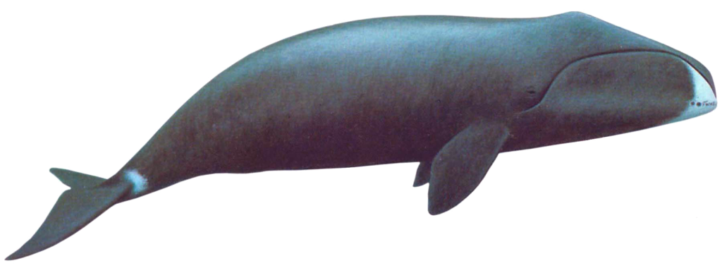 Bowheads have extremely large heads and dark, stocky bodies with a distinctive white chin. The bow-shaped skull can be about a third of a bowhead's body length.