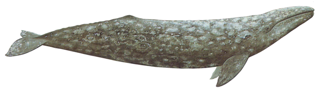 Gray whales have a mottled gray body with small eyes located just above the corners of the mouth. Their pectoral flippers are broad, paddle-shaped, and pointed at the tips.