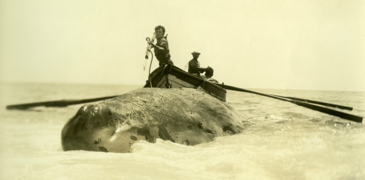 Front view of whale, men behind in boat ready to harpoon it.