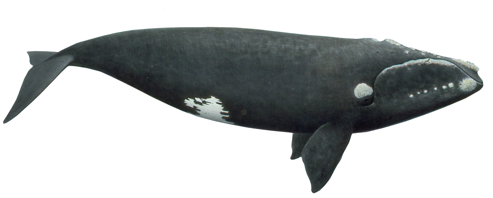 North Atlantic right whales have a stocky black body, with no dorsal fin. Their tail is broad, deeply notched, and all black with a smooth trailing edge.