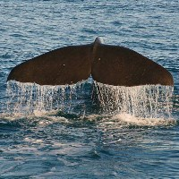 A sperm whale fluke breaks the ocean surface.