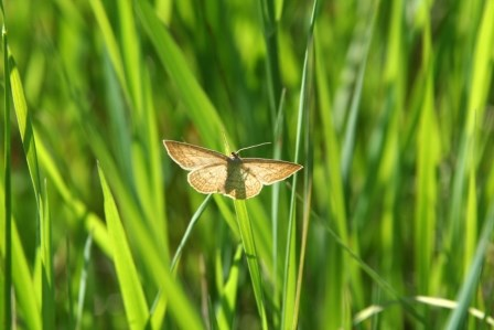 Moth resting on a tall grass.